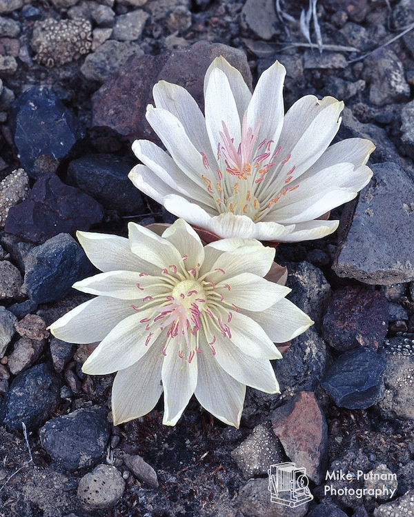 Bitterroot Blossoms